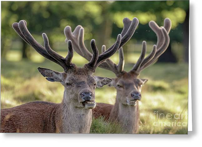 Two Red Deer Stags - Cervus Elaphus - Growing Velvet Antlers In Re Greeting Card