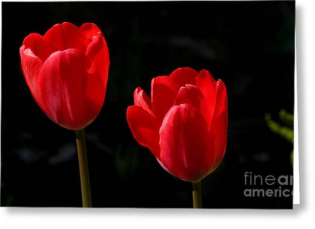 Two Red Tulips Greeting Card by Steve Augustin