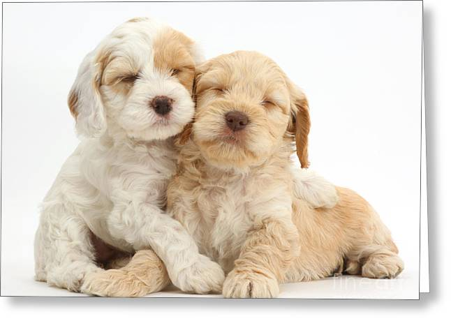 Two Sleepy Cockapoo Puppies Greeting Card by Mark Taylor