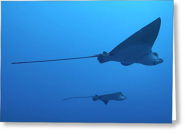 Undersea Photography Greeting Cards - Two swimming Spotted Eagle rays underwater Greeting Card by Sami Sarkis