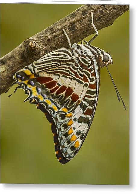 Two Tailed Pasha Butterfly Greeting Card