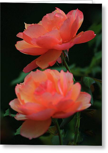 Two Tangerine Roses Greeting Card