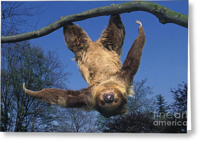 Two Toed Sloth Choloepus Didactylus Greeting Card by Gerard Lacz