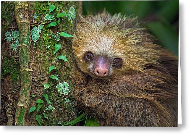 Two-toed Sloth Choloepus Didactylus Greeting Card