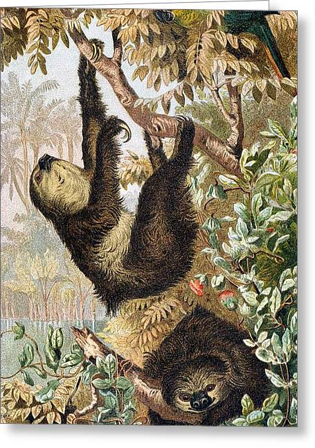 Two-toed Sloth Greeting Card by Otis Porritt