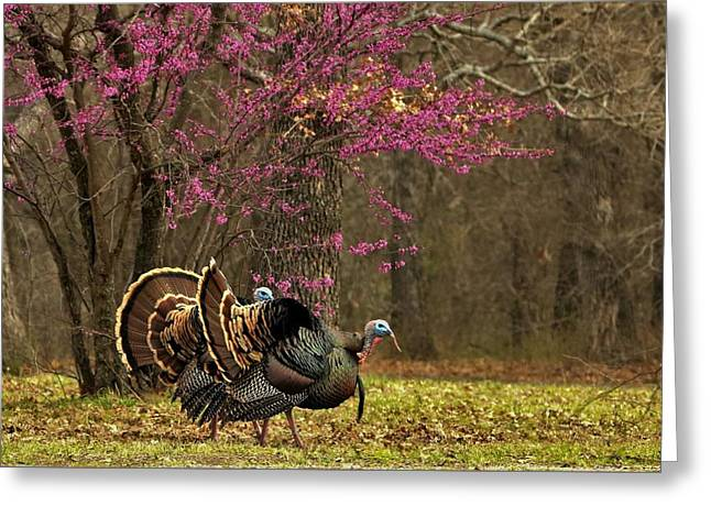 Two Tom Turkey And Redbud Tree Greeting Card