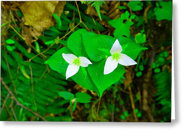Two Trilliums  Greeting Card