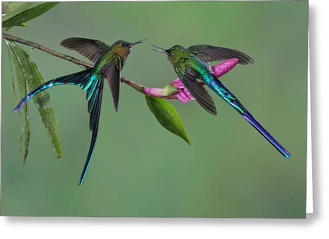 Two Violet-tailed Sylphs In Ecuador Greeting Card