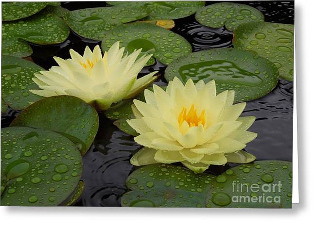 Two Water Lilies In The Rain Greeting Card by Chad and Stacey Hall