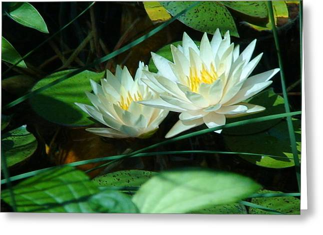 Two Waterlilies Greeting Card by Angela Annas