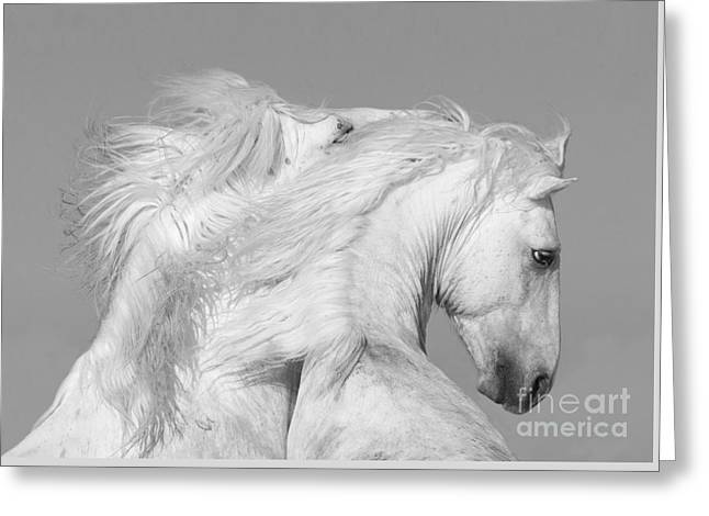 Two White Stallions Play Greeting Card