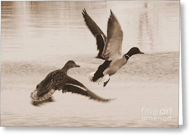 Two Winter Ducks In Flight Greeting Card by Carol Groenen