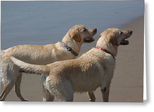 Two Yellow Labs Wait In Anticipation Greeting Card by Stacy Gold