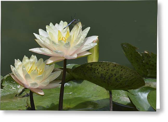 Two Yellow Water Lilies Greeting Card by Linda Geiger