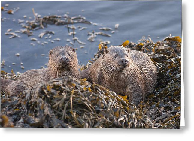 Two Young European Otters Greeting Card