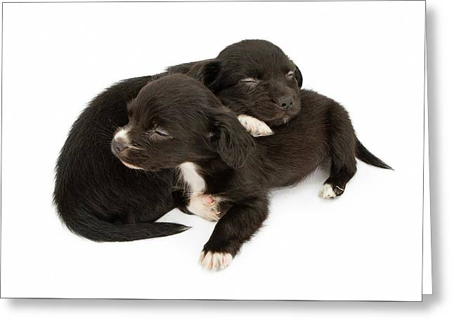 Two Young Puppies Snuggling Napping Greeting Card