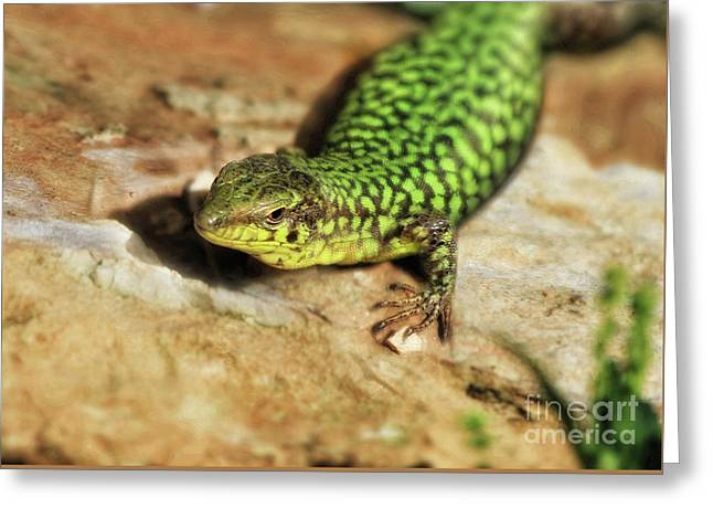 Typical Maltese Lizard Greeting Card by Stephan Grixti