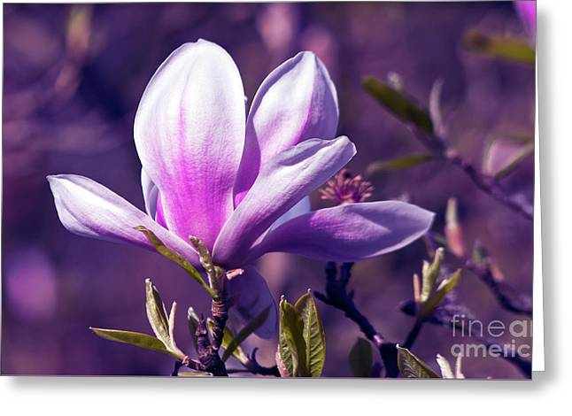 Ultra Violet Magnolia  Greeting Card