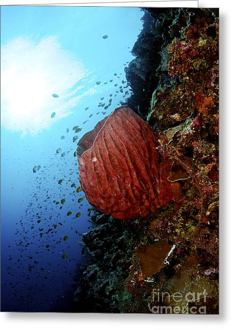 Underwater Scene - Barrel Sponge Greeting Card by Steve Rosenberg - Printscapes
