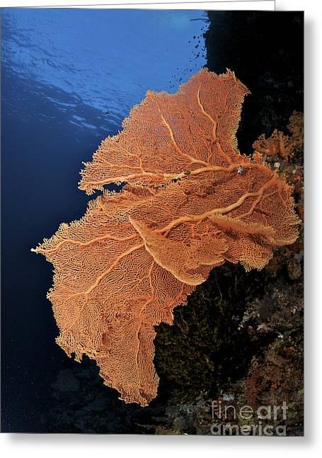 Underwater Scene - Sea Fan Coral Greeting Card by Steve Rosenberg - Printscapes