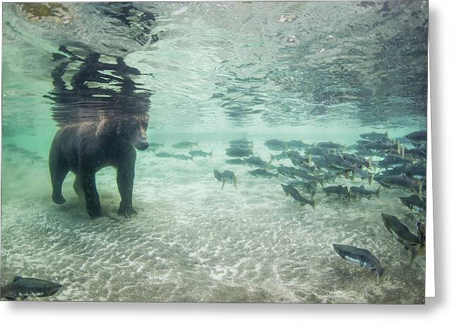 Underwater View Of Coastal Brown Bear Greeting Card by Paul Souders