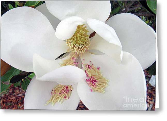 Unfolding Beauty Of Magnolia Greeting Card