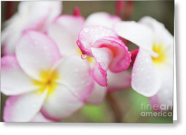 Unfolding Plumeria Blossom Greeting Card