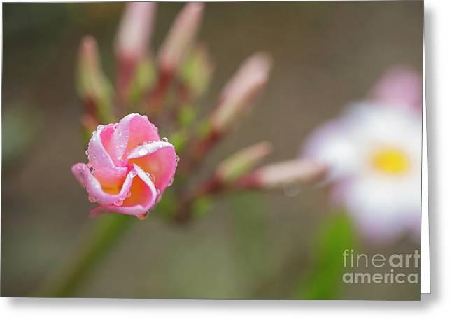Unfolding Plumeria Flower Greeting Card
