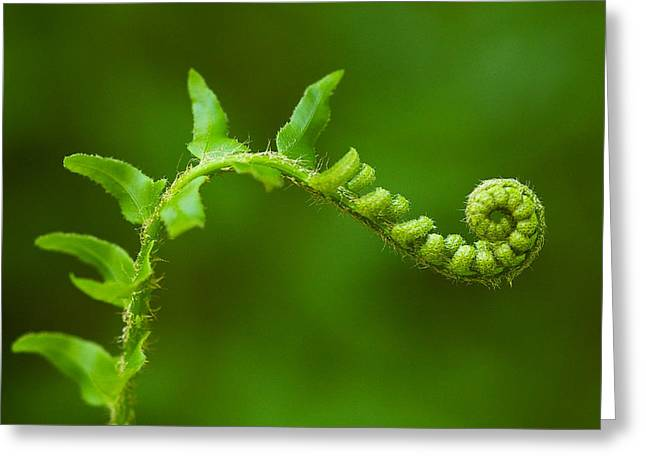 Unfurling Fern. Greeting Card