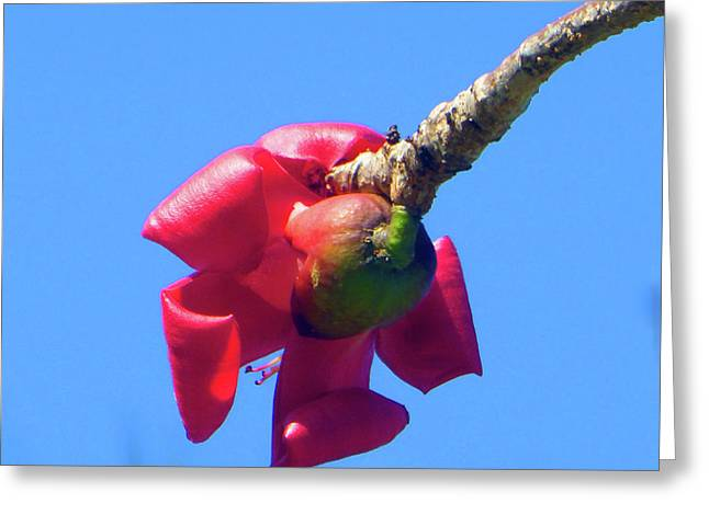 Unusual Rubber Tree Bloom Greeting Card