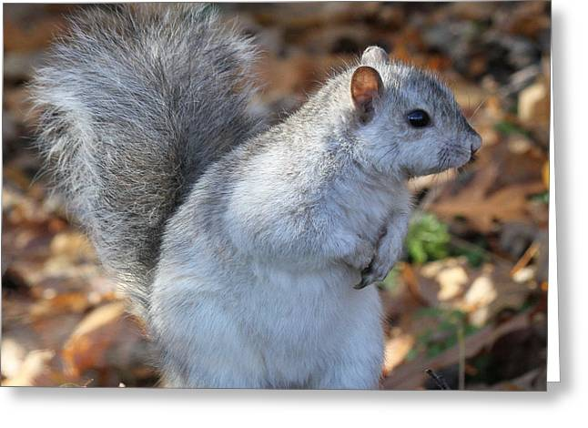 Greeting Card featuring the photograph Unusual White And Gray Squirrel by Doris Potter