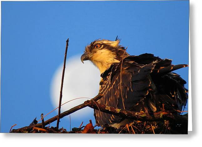 Up With The Ospreys Greeting Card by Dianne Cowen