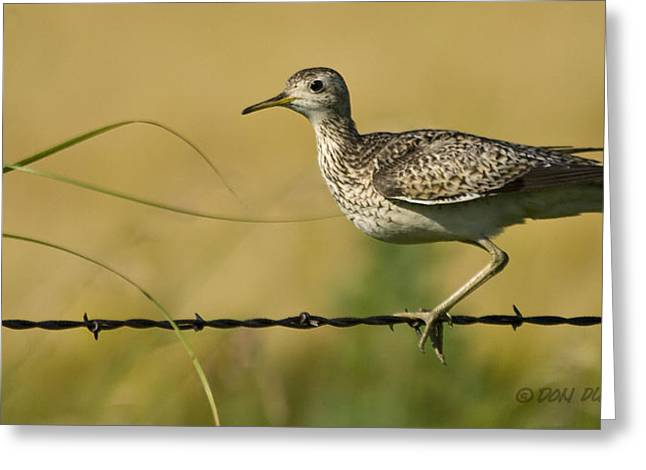 Greeting Card featuring the photograph Uplland Sandpiper by Don Durfee