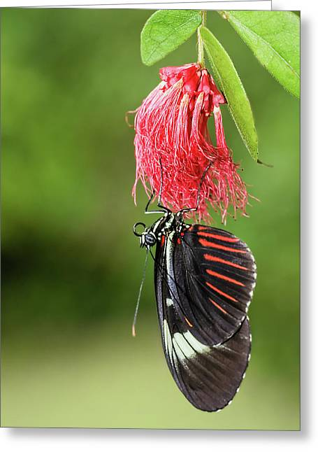 Greeting Card featuring the photograph Upon A Red Blossom by Dawn Currie