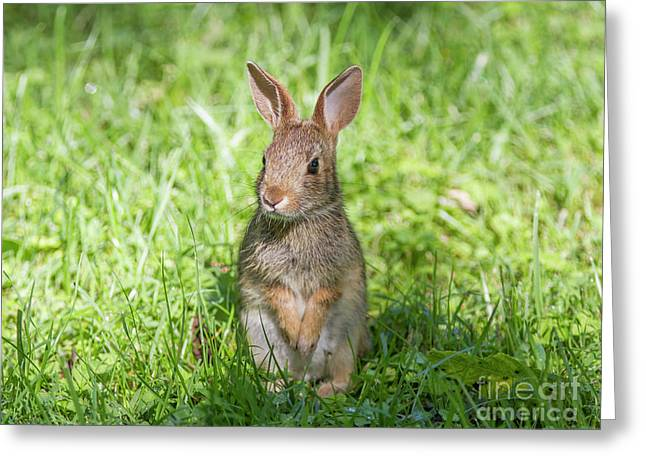 Greeting Card featuring the photograph Upright Rabbit by Chris Scroggins