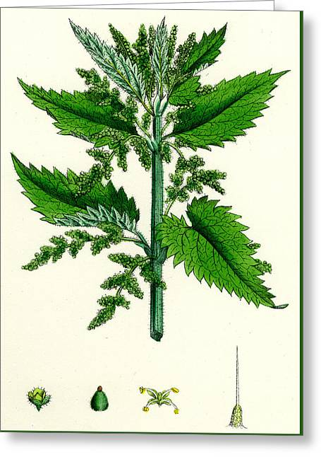 Urtica Dioica Common Nettle Greeting Card by Unknown