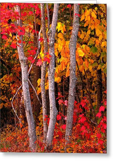 Usa, Maine, Autumn Maple Trees Greeting Card