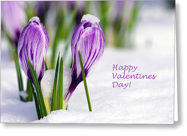 Valentines Day Crocuses Greeting Card by Sharon Talson