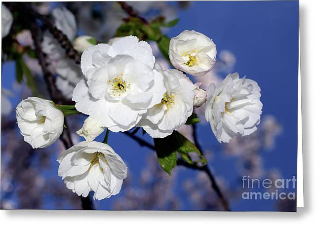 Greeting Card featuring the photograph Vancouver 2017 Spring Time Cherry Blossoms - 1 by Terry Elniski