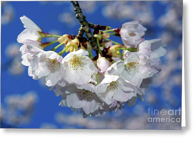Greeting Card featuring the photograph Vancouver 2017 Spring Time Cherry Blossoms - 11 by Terry Elniski