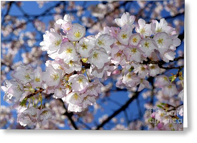 Greeting Card featuring the photograph Vancouver 2017 Spring Time Cherry Blossoms - 12 by Terry Elniski