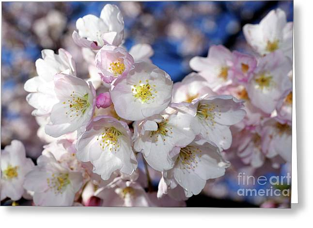Greeting Card featuring the photograph Vancouver 2017 Spring Time Cherry Blossoms - 13 by Terry Elniski