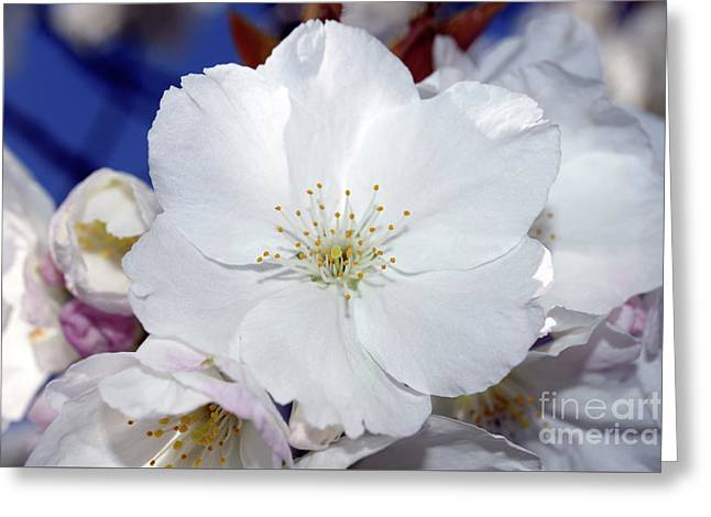 Greeting Card featuring the photograph Vancouver 2017 Spring Time Cherry Blossoms - 2 by Terry Elniski
