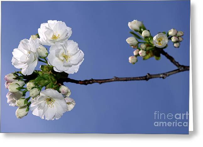 Greeting Card featuring the photograph Vancouver 2017 Spring Time Cherry Blossoms - 4 by Terry Elniski