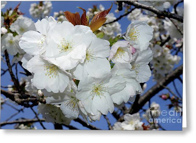 Greeting Card featuring the photograph Vancouver 2017 Spring Time Cherry Blossoms - 5 by Terry Elniski