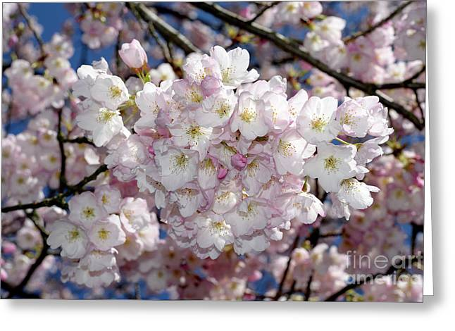 Greeting Card featuring the photograph Vancouver 2017 Spring Time Cherry Blossoms - 6 by Terry Elniski