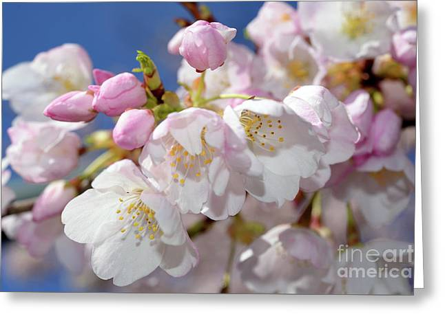 Greeting Card featuring the photograph Vancouver 2017 Spring Time Cherry Blossoms - 7 by Terry Elniski
