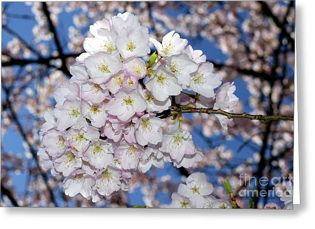 Greeting Card featuring the photograph Vancouver 2017 Spring Time Cherry Blossoms - 9 by Terry Elniski