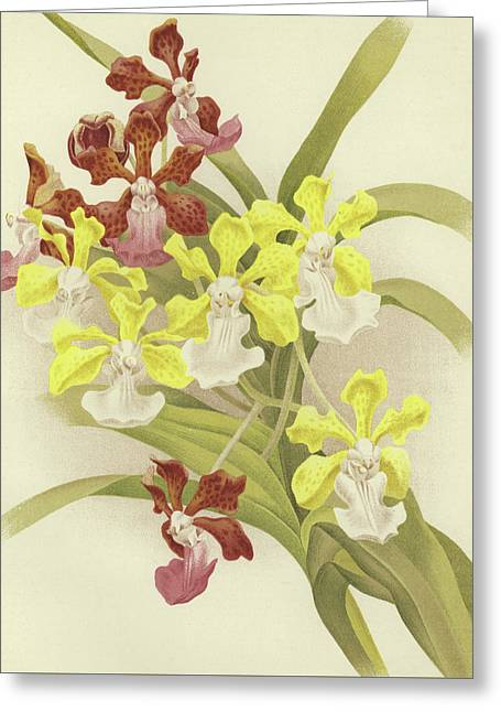 Vanda Insignis And Var Scroederiana  Greeting Card by English School