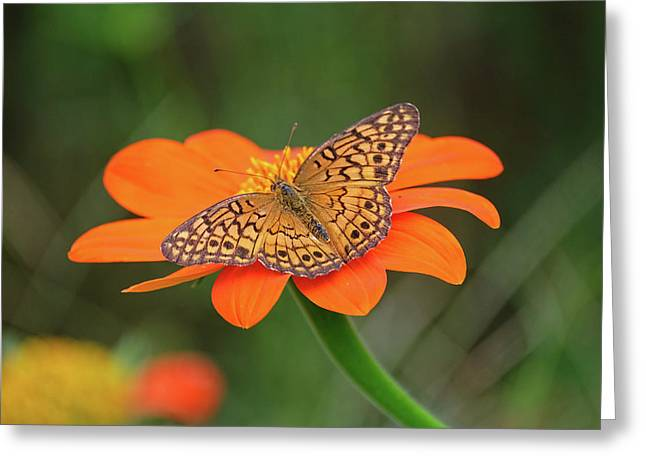 Variegated Fritillary On Flower Greeting Card